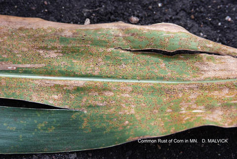 corn leaf with tan areas and many brown spots.