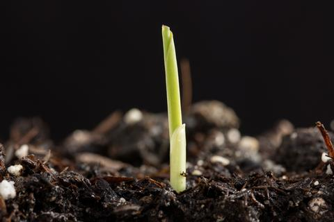 corn seedling emerging