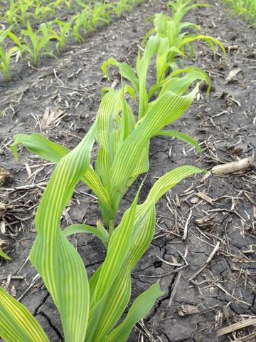 A row of corn with stunted growth and yellow striping