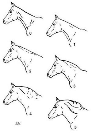 drawing of six horse heads with cresty neck scoring on each of them.