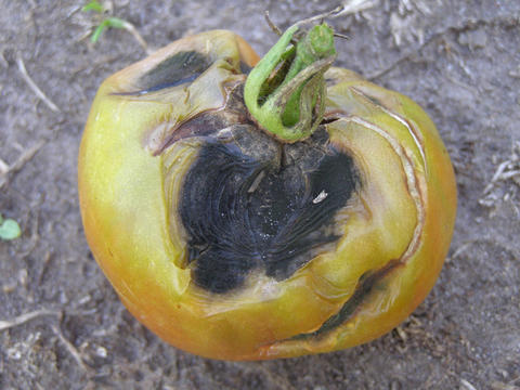 Tomato fruit with spots that are leathery, black, with raised concentric ridges near the stem