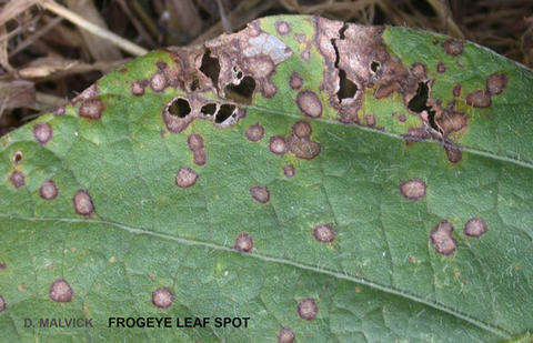soybean leaf with tan spots circled by purple ring also holes in the leaf.
