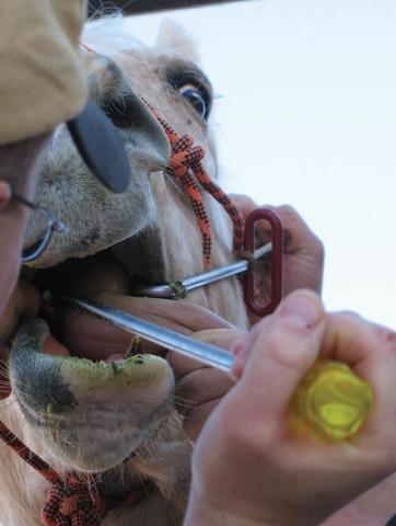 Open horse mouth with a hand holding a dental tool.
