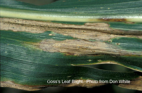 close up of corn leaf with tan lesions and brown spots on leaf vein.