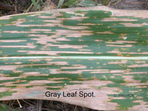 corn leaf with tan lesions that appear to be brittle, dry and opaque.