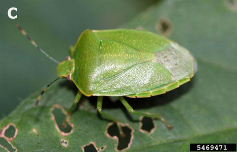 green stink bug eating a soybean leaf.