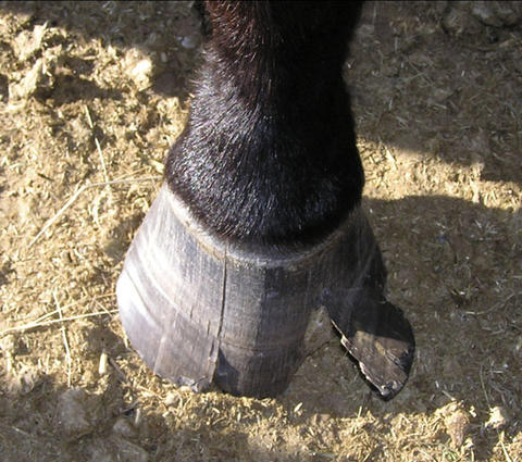 horse hoof that is cracked and a piece is hanging loosely.