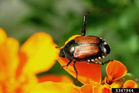 adult japanese beetle on a flower petal