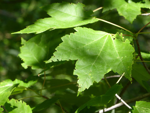 Green maple leaves on a tree.
