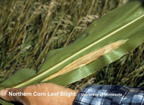 single corn leaf with tan oblong lesion parallel to vein.