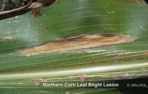 corn leaf with narrow oblong shaped tan lesion surrounded with brown edge