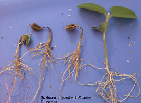 four young soybean plants at different stages of emergence, each with brown roots and brown leaves.