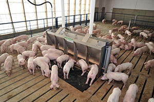 many pigs eating at feeding station and standing on raised platform.
