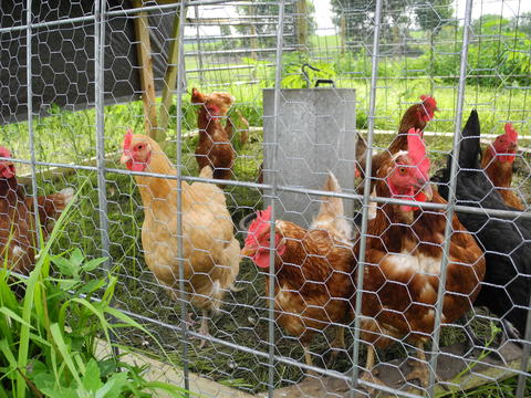 small flock of hens in outdoor, mobile pen with metal feeder