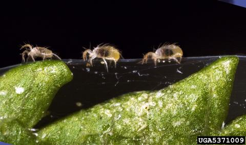 three adult twospotted spider mites traveling across webbing on a plant leaf.