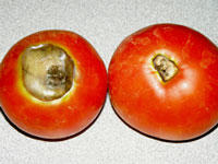 two tomatoes laying on a counter with bottom ends up. one with large brown rotted area, the other one with a smaller, similar rot in the middle of the bottom side