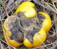 large yellow tomato laying on dried grass on the ground with odd-shaped, brown, leathery indentations on the bottom end of the fruit
