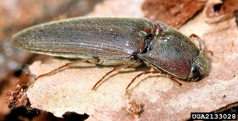 adult wireworm also known as a click beetle on a dried leaf.