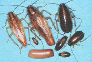 Different life stages of a German cockroach are of different sizes and colors