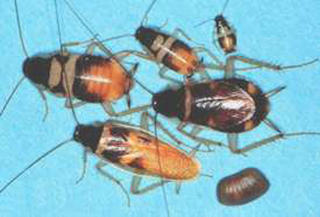 Different life stages of a brownbanded cockroach are of different sizes and colors