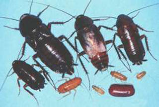 Different life stages of an Oriental cockroach are of different sizes and colors