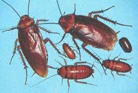 Different life stages of an American cockroach are of different sizes and colors