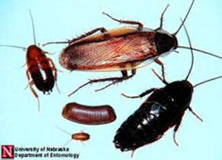 Different life stages of a Pennsylvania wood cockroach are of different sizes and colors