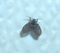 A small black fly with leaf-shaped wings