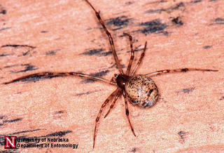 Grayish American house spider with rounded abdomen