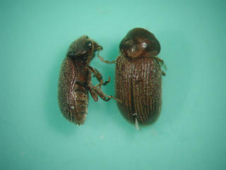 two drugstore beetles