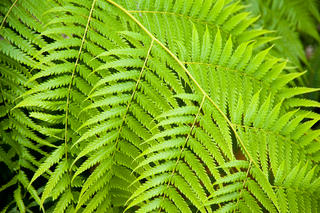 Growing Tropical Ferns Indoors Umn Extension