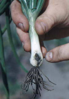Green onion with a tunnel near its roots