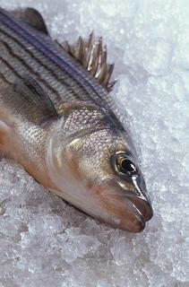 Bass fish on ice.