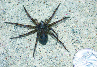 A large brown-gray fishing spider with all legs spread out