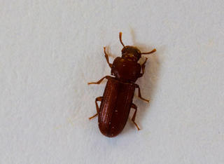 Pantry Pests Insects Found In Stored Food Umn Extension