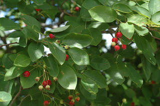 Green oval leaves and clusters of red and green ripening fruit of serviceberry
