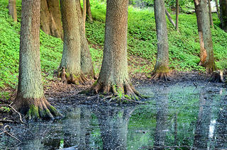 Forest trees in low wetland.