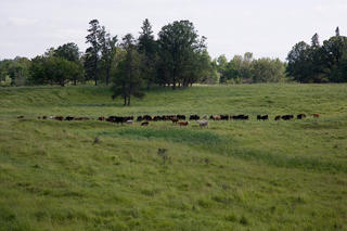 Beef cattle in field.