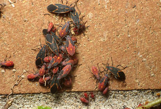 Boxelder Bugs Umn Extension
