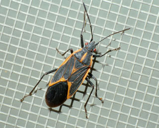 Adult boxelder bug on window screen