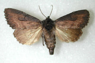 Adult iris borer moth with dark brown front wings and light yellow hind wings