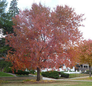 Maple tree in red fall color.