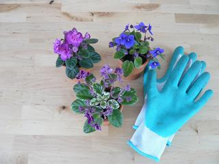three miniature African violet plants in pots next to a rubber glove