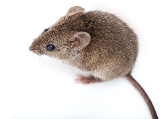 Mouse on white background.
