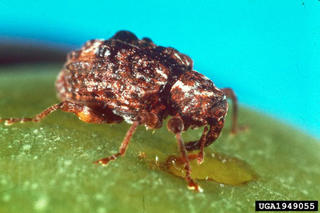 brown bug with long snout on surface of fruit