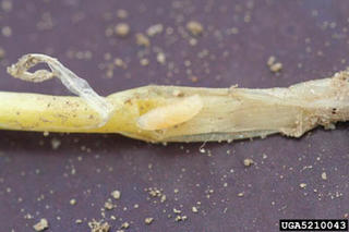 A cylindrical, yellowish maggot in a yellowing onion root