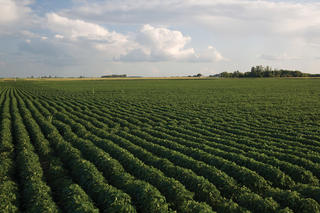 Healthy soybean field