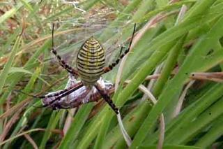 Banded argiope spider crawling on grass