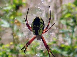 Black and yellow argiope spider on a web in a garden