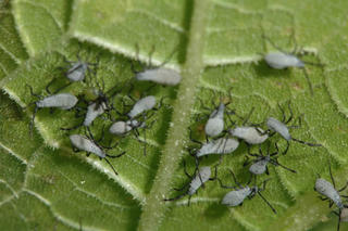 The growing nymphs become light gray in this stage